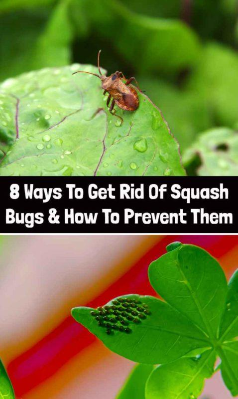 8 Ways To Get Rid Of Squash Bugs & How To Prevent Them