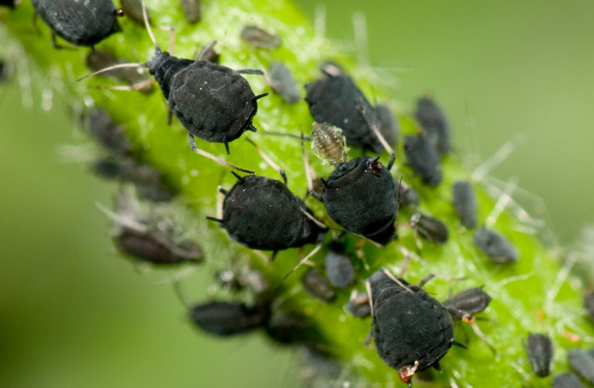 How To Get Rid Of Aphids 12 Organic